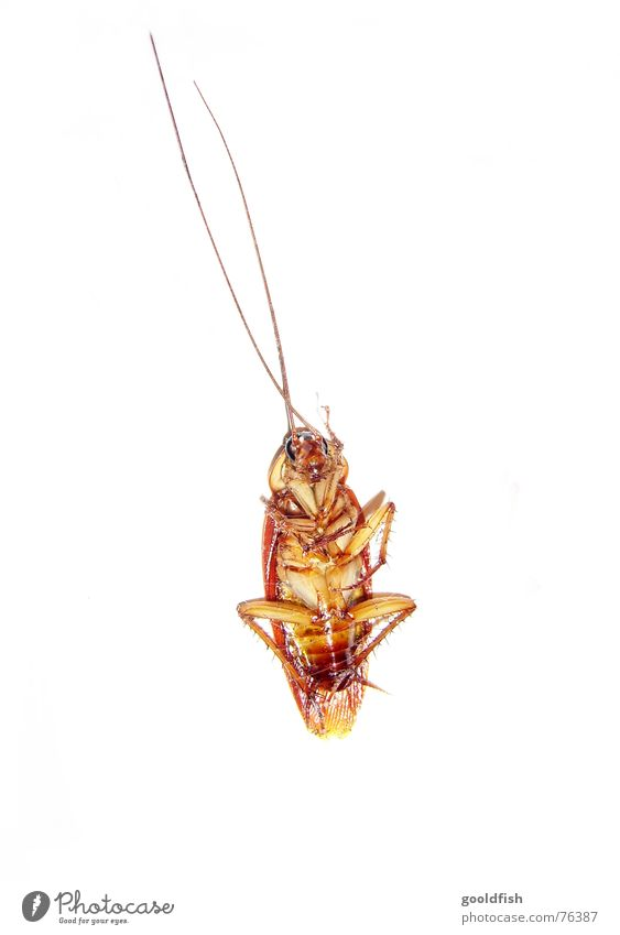 la cucaracha 2 gelb braun Insekt Siesta Fühler Schaben Rückenlage Gemeine Küchenschabe