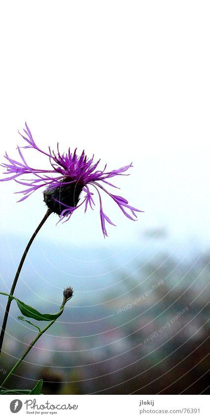 Lila Puschelblume violett Blüte Blume grün Pflanze Herbst kalt frisch Blütenblatt Stengel Horizont Natur Hintergrundbild Wachstum Blühend leaf blossom Kontrast