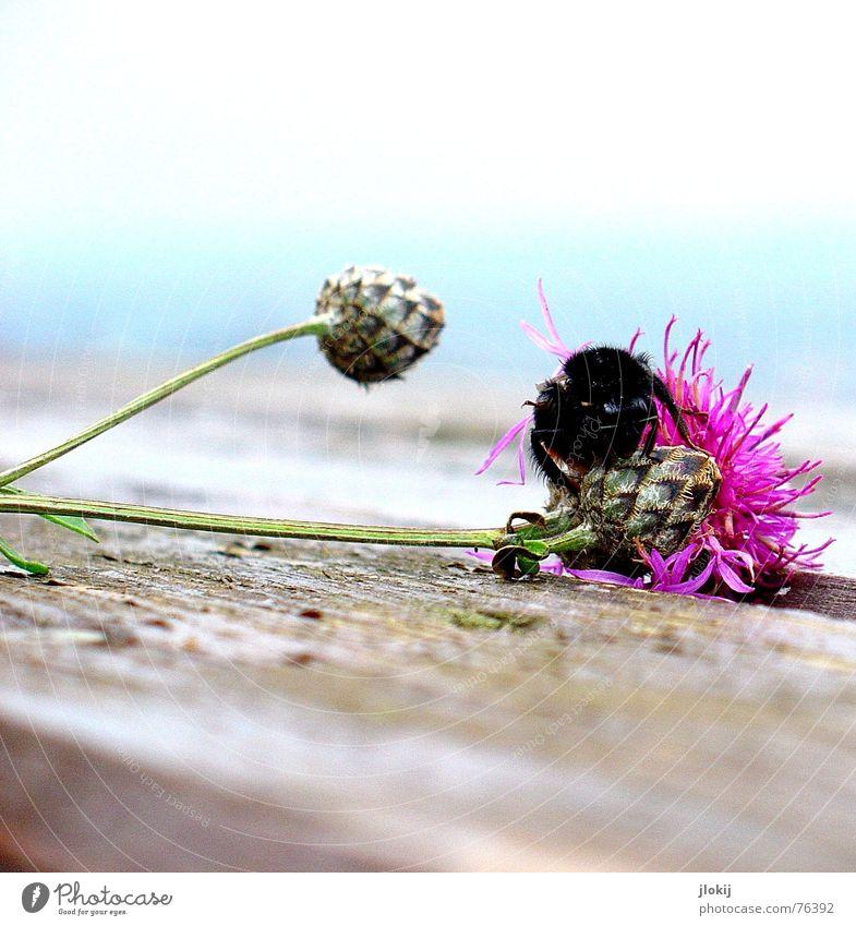 hummlisch Hummel Blüte Blühend Herbst Pflanze Tier Insekt Staubfäden Tisch Holz Biene Wespen rosa Blume hell-blau Holzmehl fade Ecke zart weich Vergänglichkeit