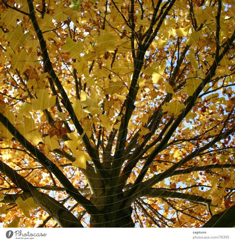 ein Baum nimmt Abschied Herbst Stimmung Jahreszeiten Außenaufnahme Neuanfang Erleichterung gelb braun Blatt herststimmung Baumstamm Ast
