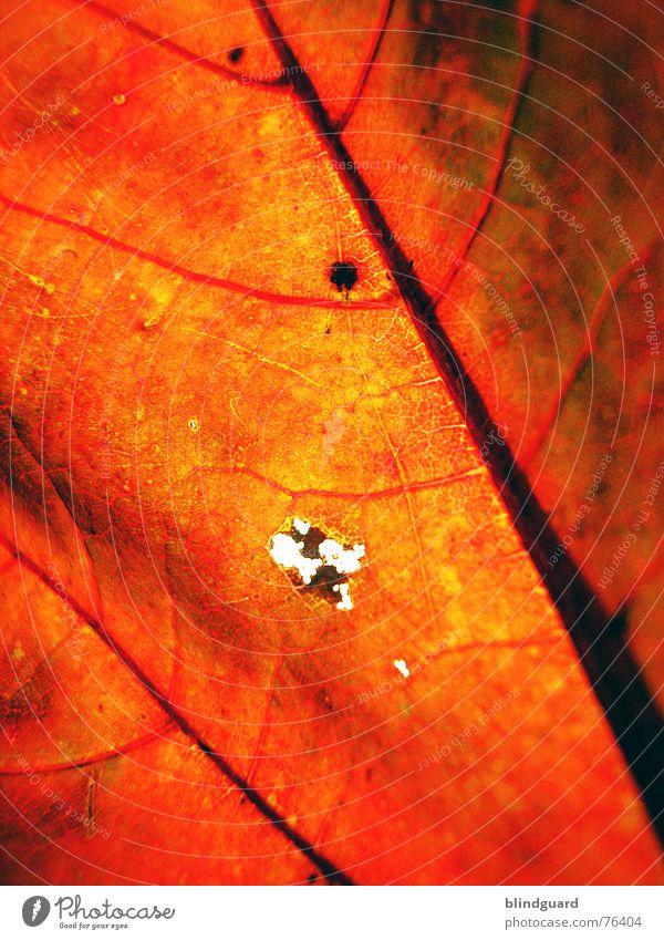 Herbstmode .:!:. Blatt Gefäße rot Tod stoßen Physik fein trocken welk Geäst Ahorn gelb Hintergrundbild Makroaufnahme Nahaufnahme autumn leaf Loch Sonne Wärme