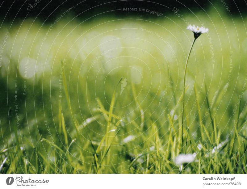 Gänseblümchen grün Sommer Blatt Wiese Blüte Gras Garten Park Wärme hoch Physik Stengel Halm Gänseblümchen saftig August