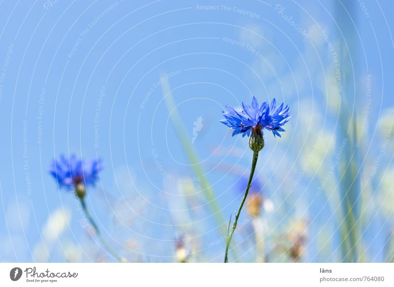 kornblumenblau Kräuter & Gewürze Umwelt Natur Landschaft Himmel Wolkenloser Himmel Sommer Pflanze Gras Kornblume Wiese Feld Blühend stehen Wachstum Beginn