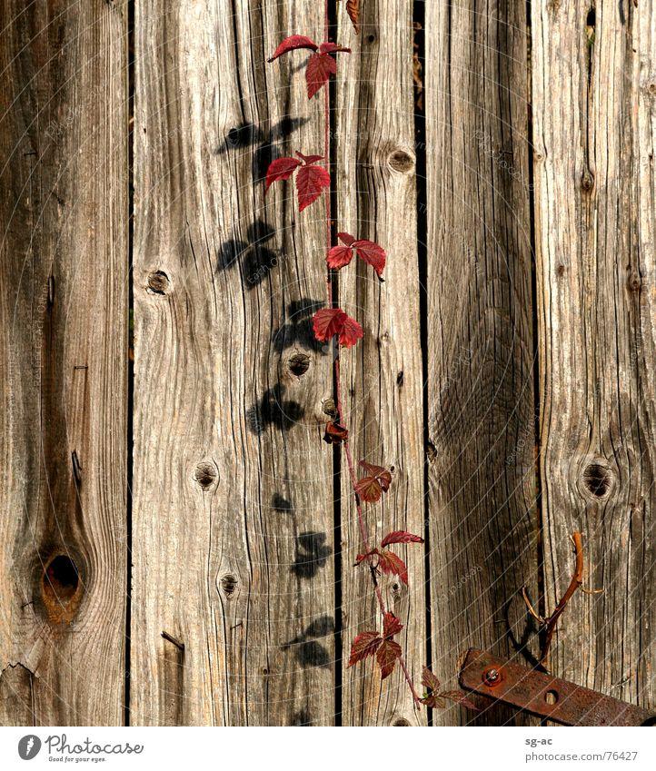 Weinschatten rot Blatt Herbst Holz Metall Tür Wein fallen Rost Holzbrett Eisen Nagel Schraube Ranke Maserung Cirrus