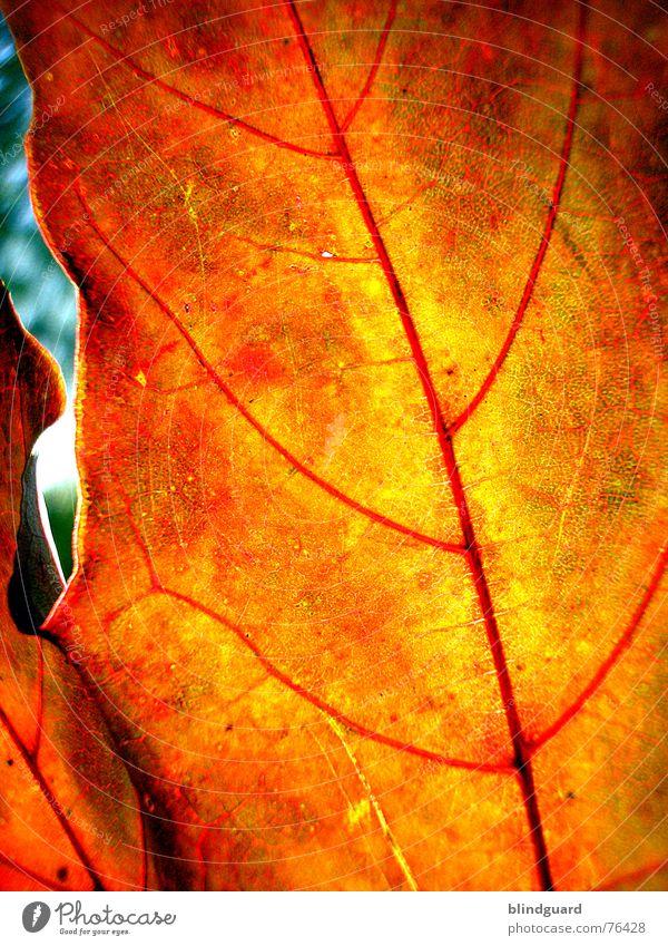 Herbstmode .:!!:. Blatt Gefäße rot Tod stoßen Physik fein trocken welk Geäst Ahorn gelb Hintergrundbild Makroaufnahme Nahaufnahme autumn leaf Loch Sonne Wärme