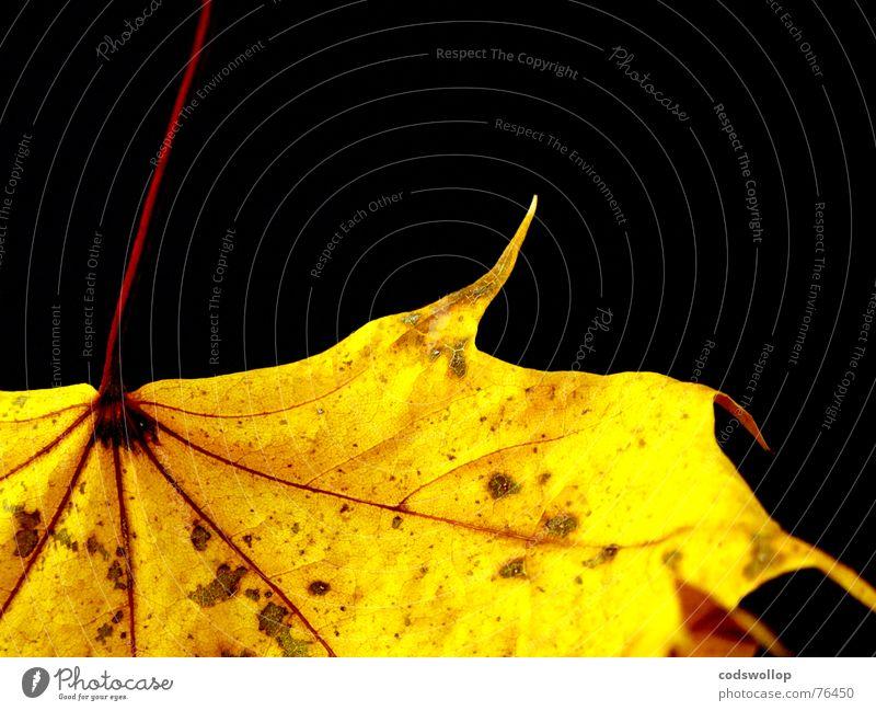 gold leaf Blatt rot gelb schwarz Herbst red structure Strukturen & Formen autumn