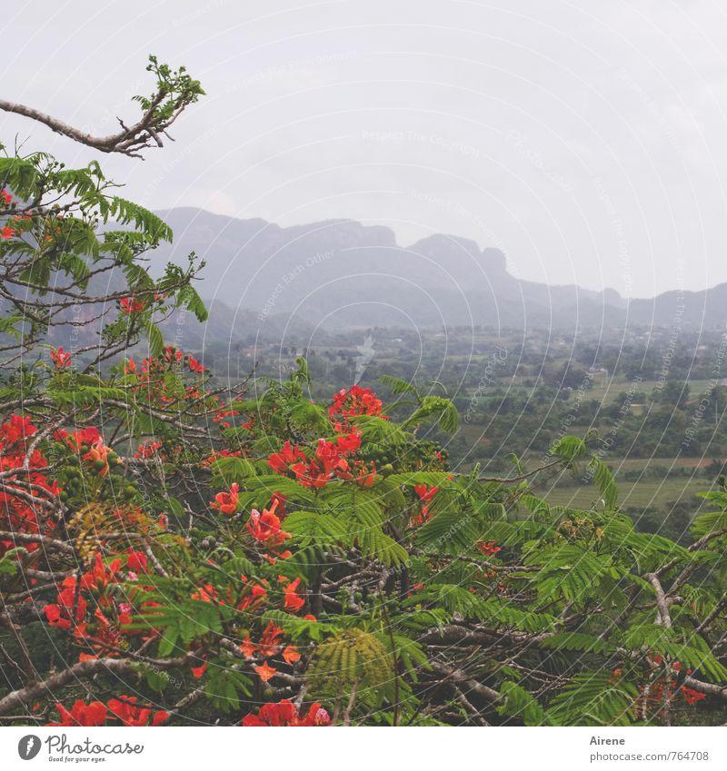 250 - Blüten für Blümchens Geburtstagsstrauß Natur Landschaft Pflanze Wolken Klima schlechtes Wetter Regen Baum exotisch Flammenbaum Jacaranda Flamboyant Urwald
