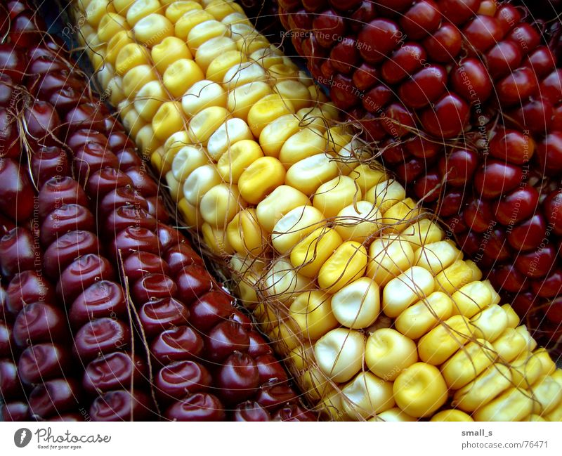 I'm corny gelb Popkorn maize red autumn cob hair
