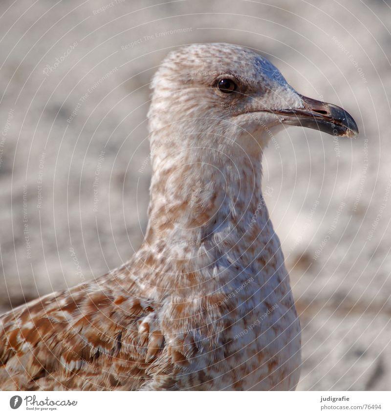 Junge Möwe Algen See Silbermöwe Vogel Feder Muster braun Strand Meer Küste Schnabel Wachsamkeit Sand Ostsee Blick Auge Tierjunges