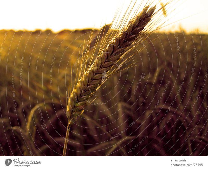 ein korn im kornfeld gelb Feld Sommer Sonne Sonnenstrahlen Korn Pflanze