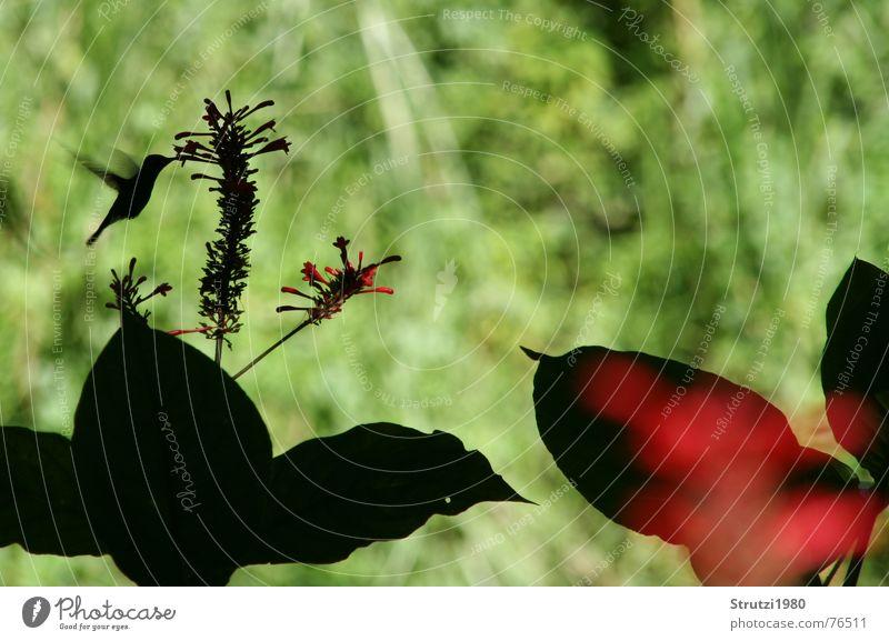 Kolibri Blume Ernährung Lebensmittel Vogel Flügel Urwald Kuba Halm Schnabel Pollen Schattenspiel Staubfäden Nektar bestäuben Kolibris