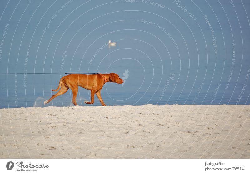 Leinenzwang II Hund Strand Meer See Eisenbahn Spuren Fährte gefangen eingeengt Zwang Möwe Tier Haustier Küste Säugetier Seil Sand Ostsee ziehen Feste & Feiern