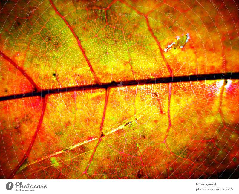 Herbstmode .:!V:. Blatt Gefäße rot Tod stoßen Physik fein trocken welk Geäst Ahorn gelb Hintergrundbild Makroaufnahme Nahaufnahme autumn leaf Loch Sonne Wärme