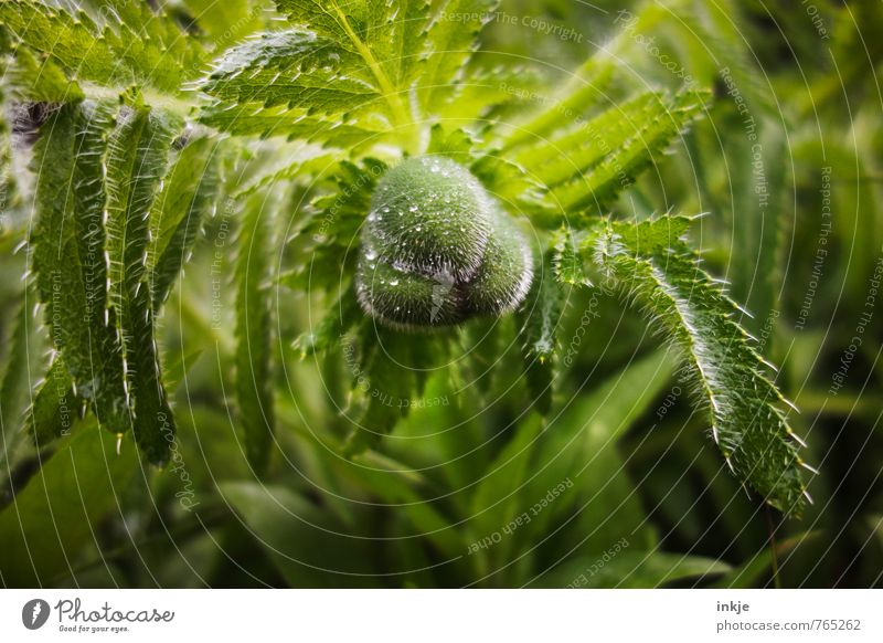 Mohn Natur Wasser Wassertropfen Frühling Sommer Klima Schönes Wetter Regen Blume Blatt Blüte Blütenknospen Mohnblatt Mohnblüte Garten Park hängen Wachstum