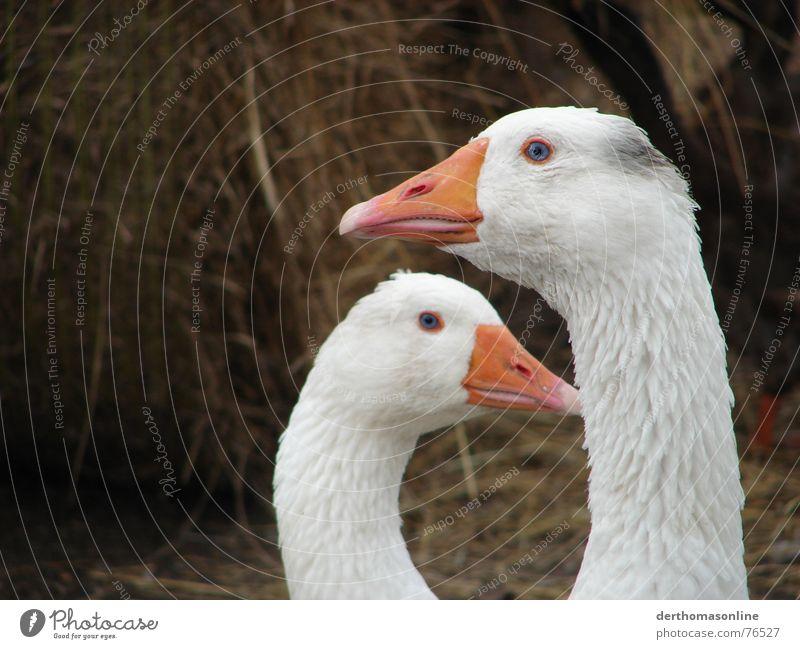 Gans schön blauäugig Natur Liebe klein Garten 2 Vogel Park groß Tierpaar dreckig Feder paarweise Sauberkeit Aussicht Verschiedenheit Decke