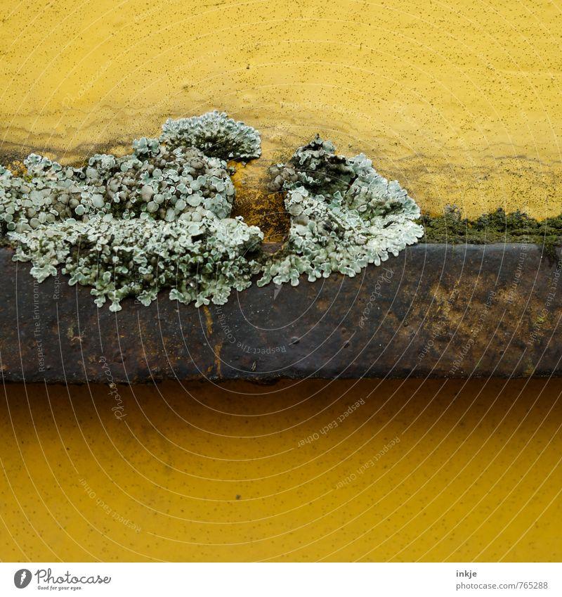 Flechte Natur Frühling Sommer Pflanze Moos Wildpflanze Flechten Garten Park Metall Rost alt Wachstum Stadt braun gelb grün Verfall Vergänglichkeit