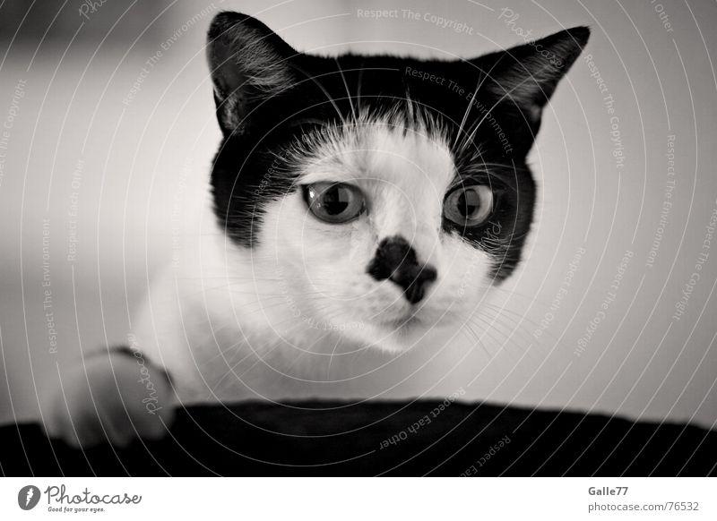 Was is´n das? Katze Schnurrhaar fixieren Blick Neugier Spielen lustig Pfote Hauskatze cat fin finnie Nase Auge