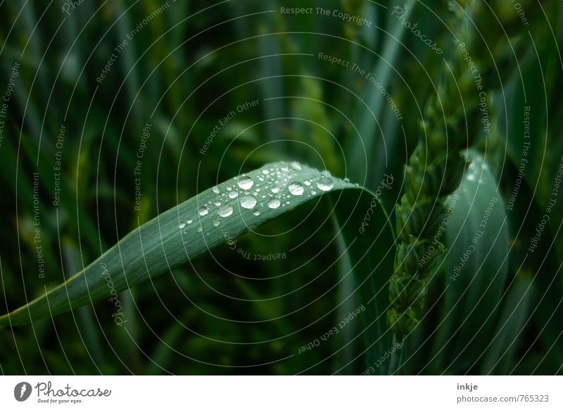ein paar Umwelt Pflanze Wasser Wassertropfen Frühling Sommer Gras Nutzpflanze Kornfeld Getreide Weizenähre Weizenkörner Weizenfeld Feld Flüssigkeit frisch nass
