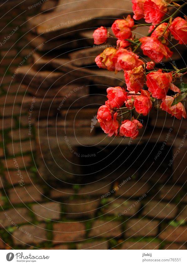 Kontrastprogramm... Bauschutt verlegen Muster Rose Blühend rot braun geschnitten Vase Freude Widerspruch widersprüchlich Pflanze Natur ankern Wachstum fade zart