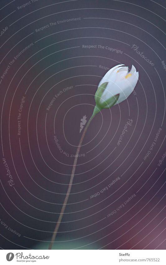 mit dem Wind tanzen Natur Pflanze Frühling Blume Blüte Wildpflanze Buschwindröschen Frühlingsblume Waldblume Wiesenblume Jungpflanze Blütenknospen Blühend fein