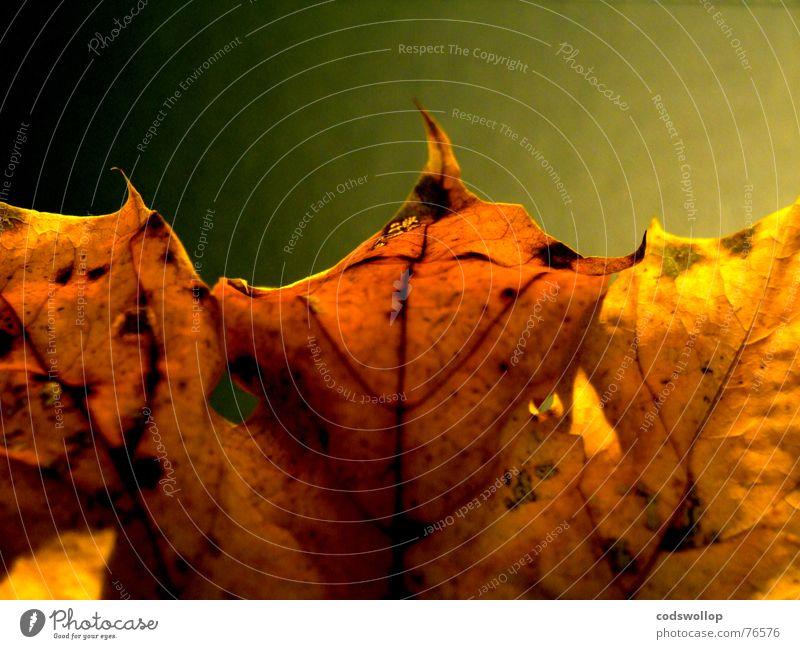 songs from the wood rot Blatt schwarz gelb Herbst gold Bronze