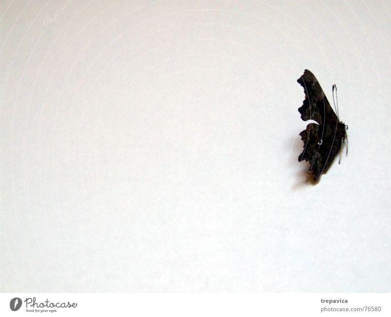 schmetterling III Tier Hintergrundbild Flügel Insekt Schmetterling Seele Zärtlichkeiten Schlaufe Fluginsekt