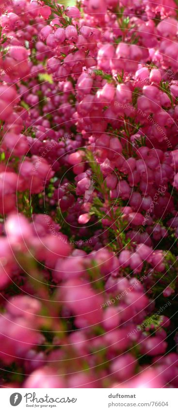 Erika, Gabi oder Ilse Blume rot Herbst rosa Grab Heide Bergheide Heidekrautgewächse Fuchsie