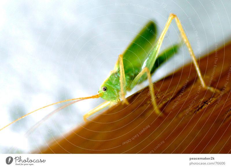 Grashüpfer beim Klettern grün Tier springen klein Klettern Insekt Fühler hüpfen Heuschrecke