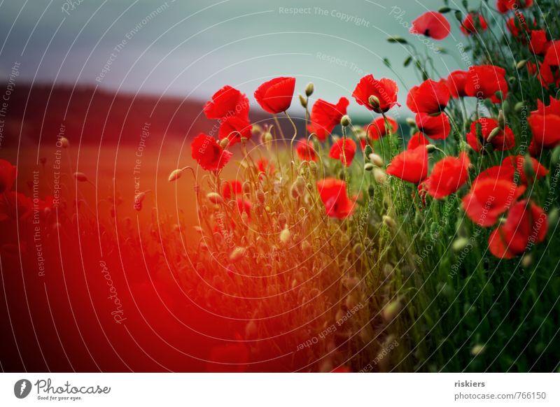 mohn.sommer.träume Umwelt Natur Landschaft Pflanze Frühling Sommer Schönes Wetter Blume Mohn Mohnfeld Feld Blühend leuchten Fröhlichkeit frisch gigantisch