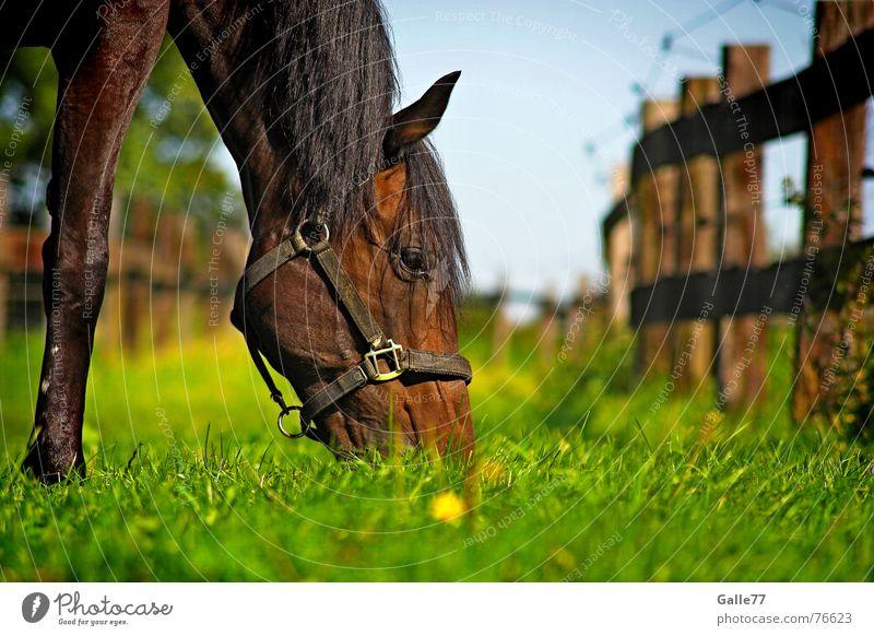 An einem Sommertag Pferd Wiese Gras Fressen ruhig genießen lecker frisch saftig tauchen Geschmackssinn Ernährung Weide Appetit & Hunger Lebensmittel