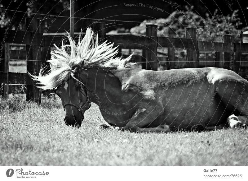 """""""ich fühl mich wohl"""" Freude Gefühle Pferd Wildtier drehen Wohlgefühl Schwung Mähne Tier Haflinger"""