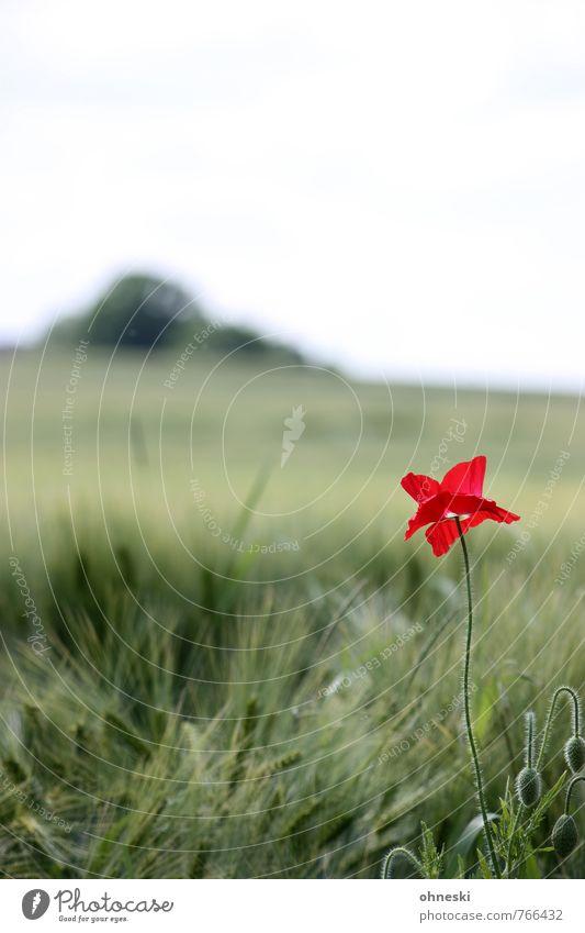Summer is coming Natur Landschaft Blume Blüte Mohnblüte Feld rot Glück Zufriedenheit Lebensfreude Farbe Idylle Farbfoto mehrfarbig Außenaufnahme