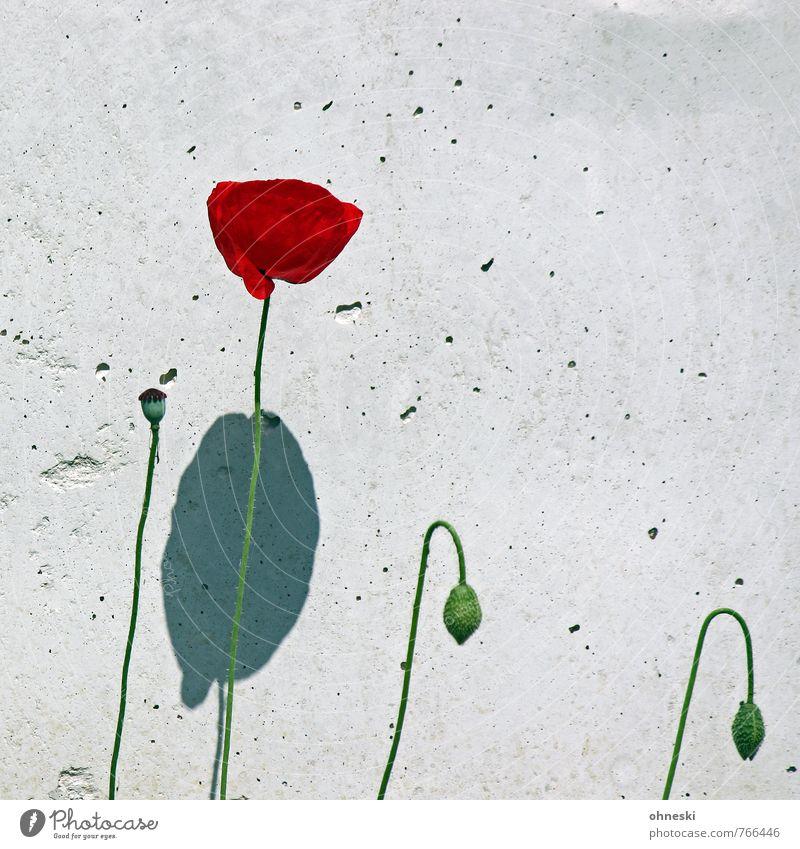Mauerblümchen Sommer Pflanze Blume Mohn Mohnblüte Wand Glück Lebensfreude Frühlingsgefühle Natur Wachstum Farbfoto mehrfarbig Außenaufnahme Strukturen & Formen