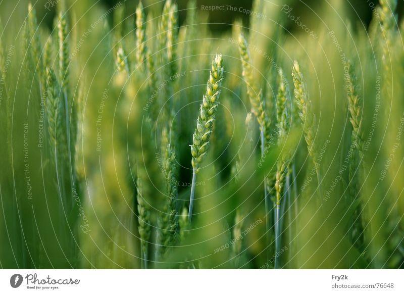 Getreide grün Sommer Frühling Feld Getreide Stroh