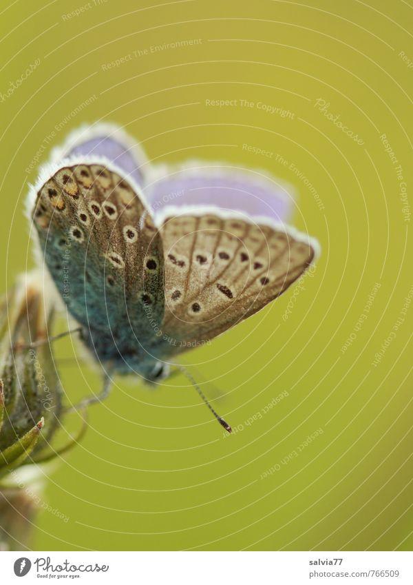 Bläuling Natur blau grün Sommer ruhig Tier Umwelt Leben Wiese Frühling Blüte grau klein natürlich Glück Gesundheit