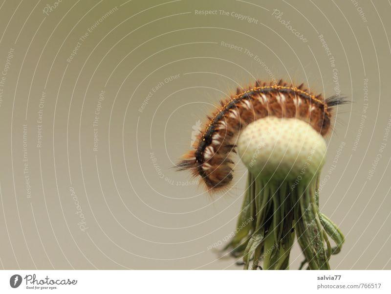 Raupen Yoga 2 Natur grün Pflanze Sommer Erholung ruhig Tier Umwelt Wiese Frühling grau braun Behaarung Zufriedenheit Wildtier Fitness
