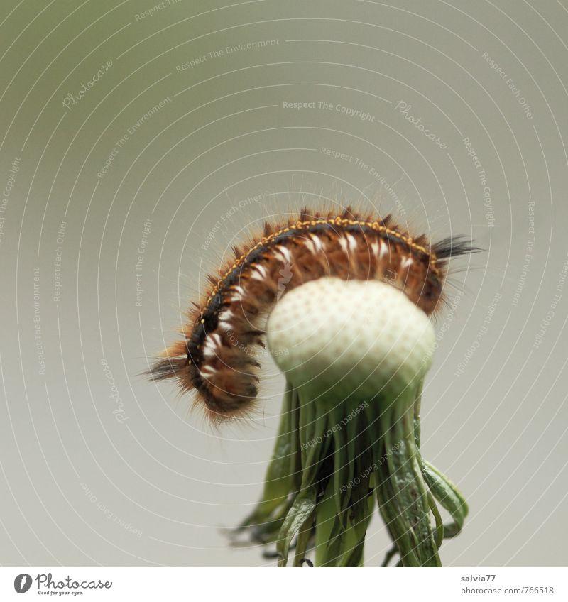 Raupen Yoga Natur weiß Pflanze Sommer Erholung ruhig Tier Umwelt Frühling grau klein natürlich braun Behaarung Wildtier ästhetisch