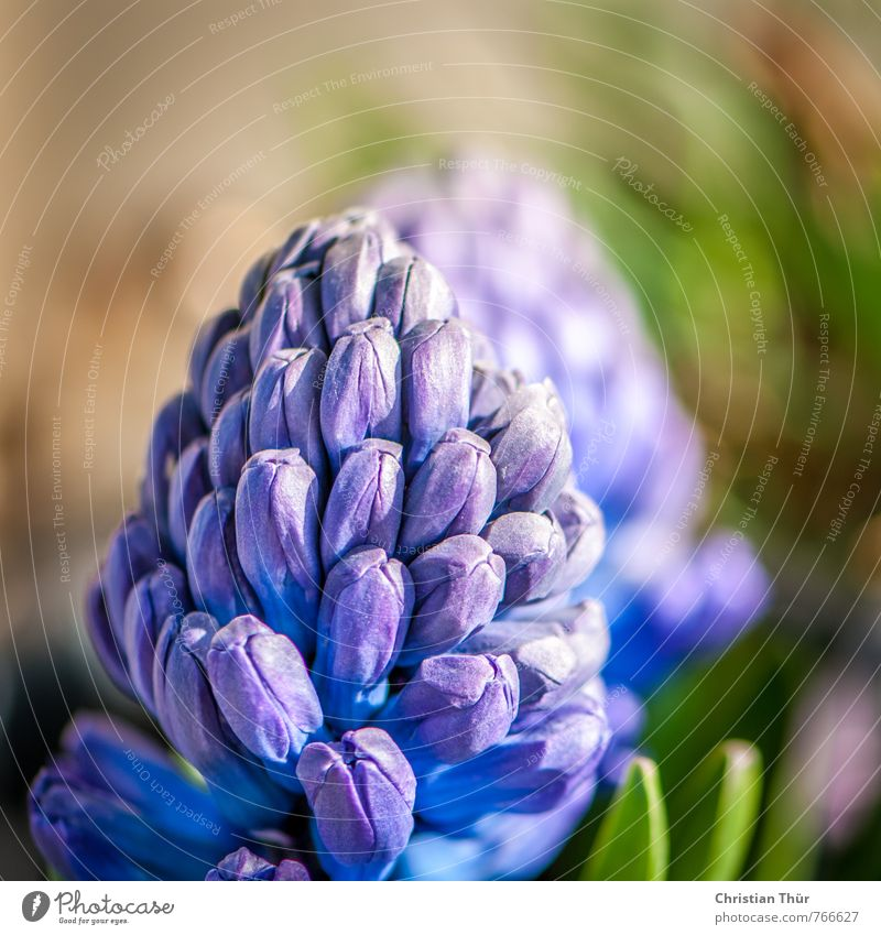 Hyazinthen Natur Ferien & Urlaub & Reisen blau grün Blatt Frühling Blüte grau elegant Zufriedenheit ästhetisch Schönes Wetter Warmherzigkeit fantastisch Blühend Topfpflanze