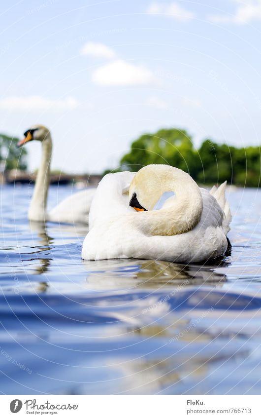 Ein bisschen schüchtern Himmel Natur blau schön weiß Wasser ruhig Tier Umwelt Schwimmen & Baden Stimmung Vogel Wellen Wildtier Tierpaar Hamburg