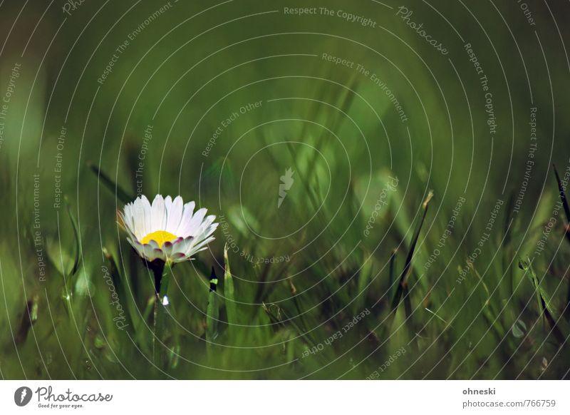 Im Grünen Frühling Sommer Blume Gras Gänseblümchen Garten Wiese grün Glück Lebensfreude Frühlingsgefühle Kitsch Farbfoto Außenaufnahme Textfreiraum rechts