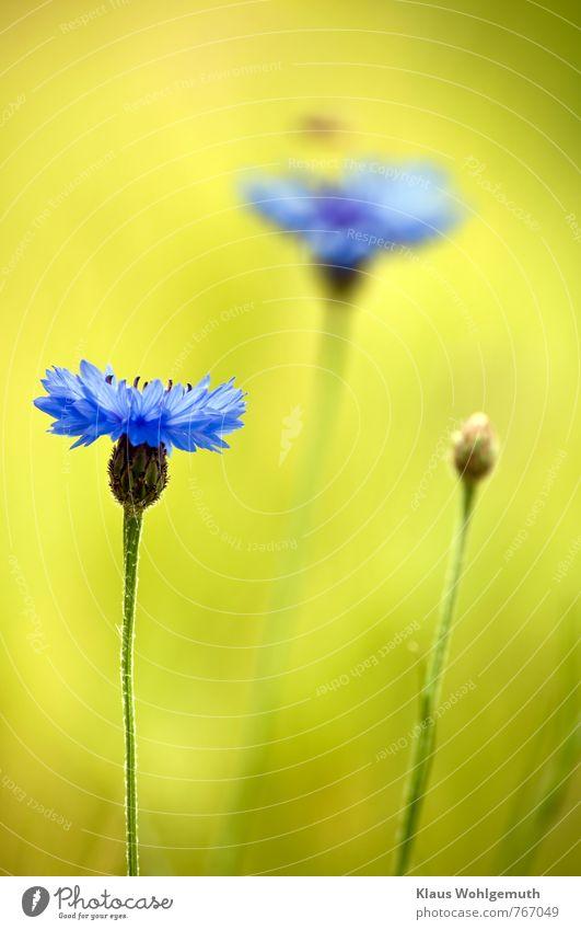 Sommerduft 200 Ferien & Urlaub & Reisen Umwelt Natur Landschaft Pflanze Schönes Wetter Wildpflanze Kornblume Centaurea Wiese Feld Blühend Duft blau gelb grün