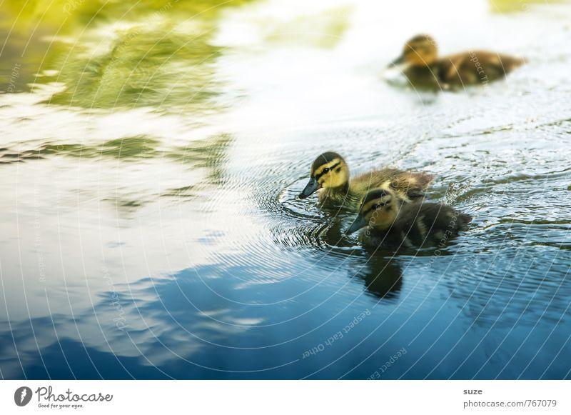 Absolute Beginner Natur blau grün Wasser Tier Umwelt gelb Tierjunges klein Schwimmen & Baden See Vogel Wetter wild Wildtier niedlich