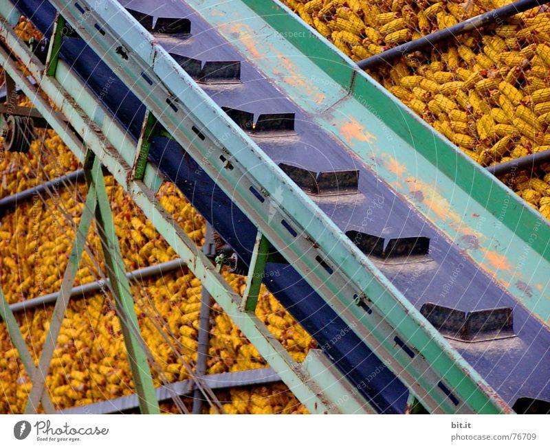 RAMPE frei Förderband sehr viele Maiskolben