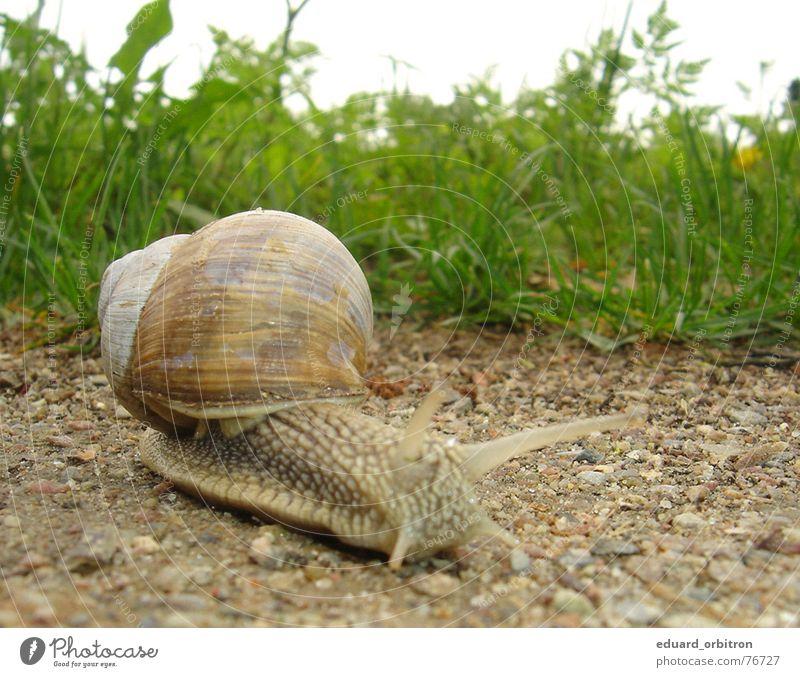 Auf der Suche grün ruhig Haus Tier Leben Wiese Gras Stein Wege & Pfade Sand Bodenbelag Gelassenheit Schnecke krabbeln