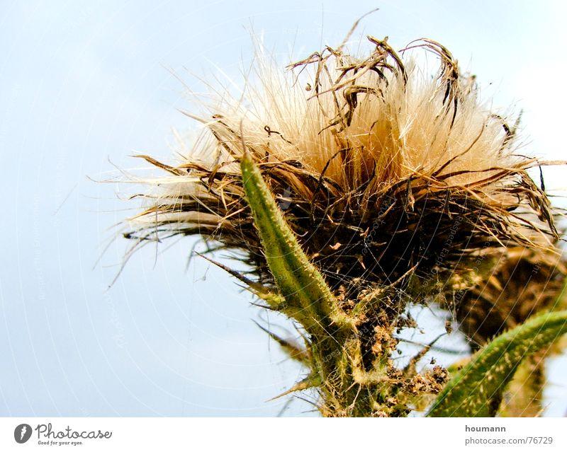 Auch... Nahaufnahme stechend Distel weiß Blume weich grün Makroaufnahme gefährlich thistle pricking sharp white
