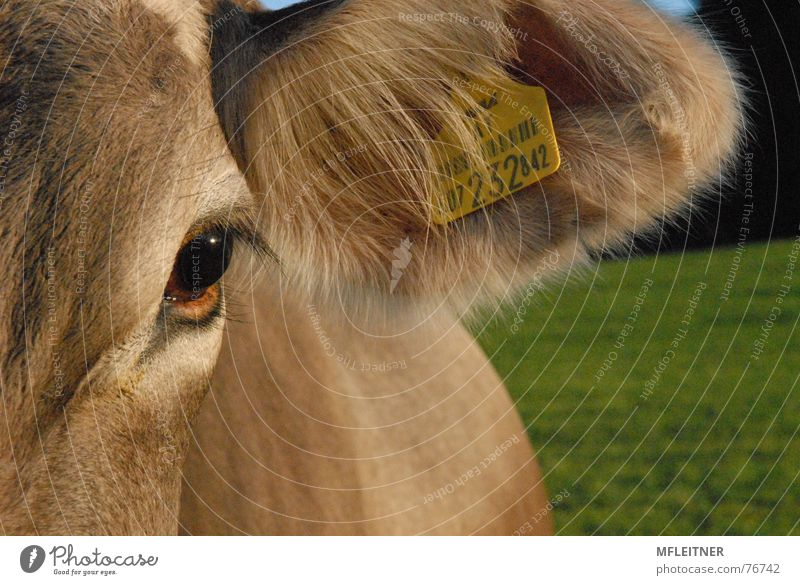 look at this cow and .... Kuh Tier Lebewesen Bundesland Tirol animal meat eye Auge vegetarian