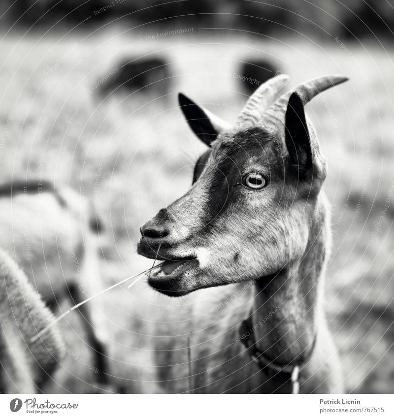 Lucky Luke Umwelt Natur Landschaft Tier Wiese Nutztier Wildtier Tiergesicht 1 Tiergruppe beobachten Bewegung Fressen stehen frei schön einzigartig natürlich