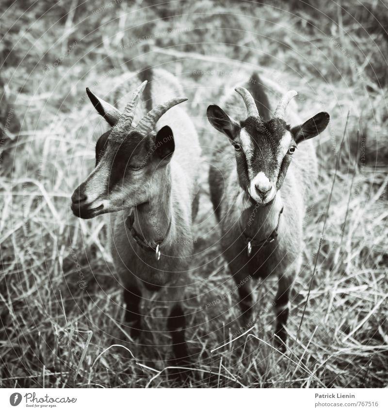 miteinander gehen Tier Nutztier Tiergesicht 2 elegant frech Freundlichkeit frisch Gesundheit Zusammensein schön einzigartig kuschlig lustig nah natürlich
