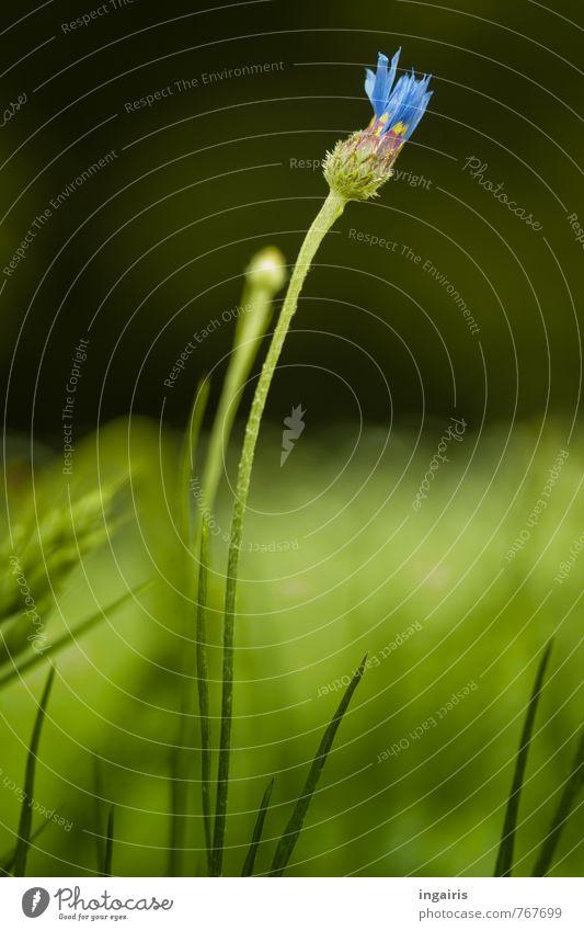 Kornblumenblau Natur Pflanze grün schön Landschaft Leben Blüte Gras natürlich Glück Stimmung Feld Wachstum leuchten ästhetisch