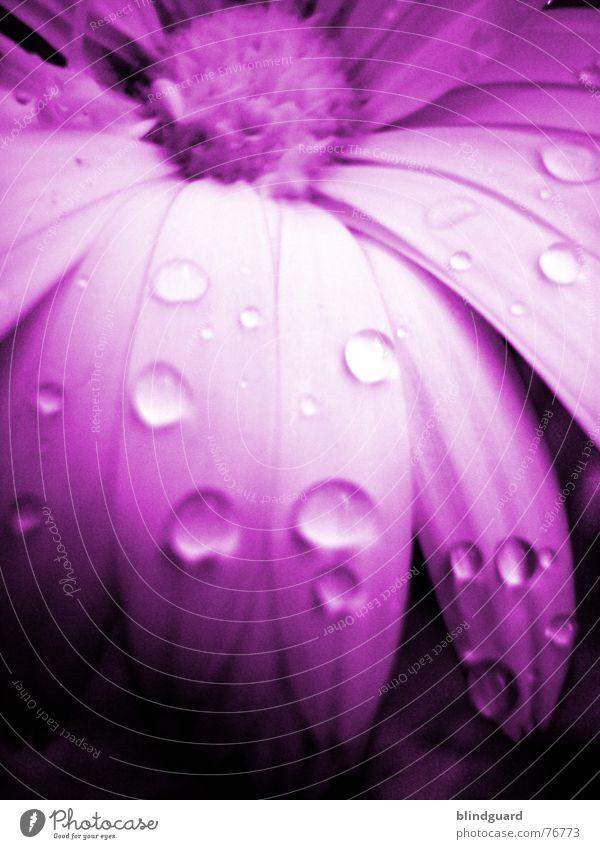 Pink schön Pflanze Sommer Freude Leben Blüte Garten orange Regen rosa glänzend Wassertropfen Romantik geheimnisvoll zart Blütenknospen
